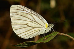 Gray-veined White (Pieris melete, Pieridae)