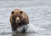 Bear Chasing Salmon in the Shallows by Glatz Nature Photography