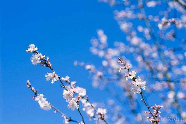 桜のクローズアップ / Sakura, close-up