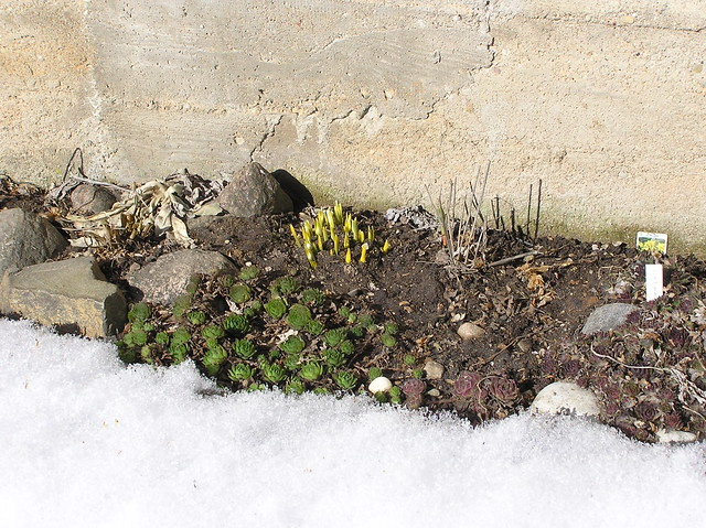 Sempervivums & first Snowdrops