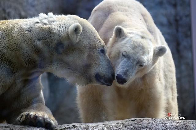 Eisbären Giovanna&Yoghi 2013_03_20 145