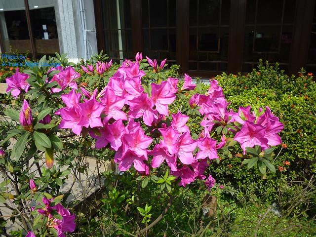美麗的杜鵑花 1