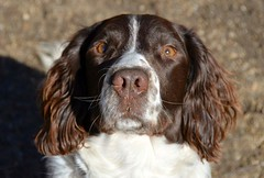 sussex spaniel(0.0), boykin spaniel(0.0), brittany(0.0), setter(0.0), braque d'auvergne(0.0), dog breed(1.0), animal(1.0), dog(1.0), welsh springer spaniel(1.0), small mã¼nsterlã¤nder(1.0), king charles spaniel(1.0), field spaniel(1.0), drentse patrijshond(1.0), russian spaniel(1.0), english cocker spaniel(1.0), picardy spaniel(1.0), blue picardy spaniel(1.0), spaniel(1.0), german spaniel(1.0), french spaniel(1.0), english springer spaniel(1.0), carnivoran(1.0),