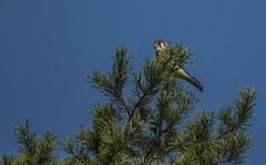 American Kestrel In Pine
