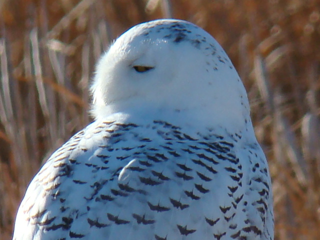 Snowy Owl at Benton Lake NWR