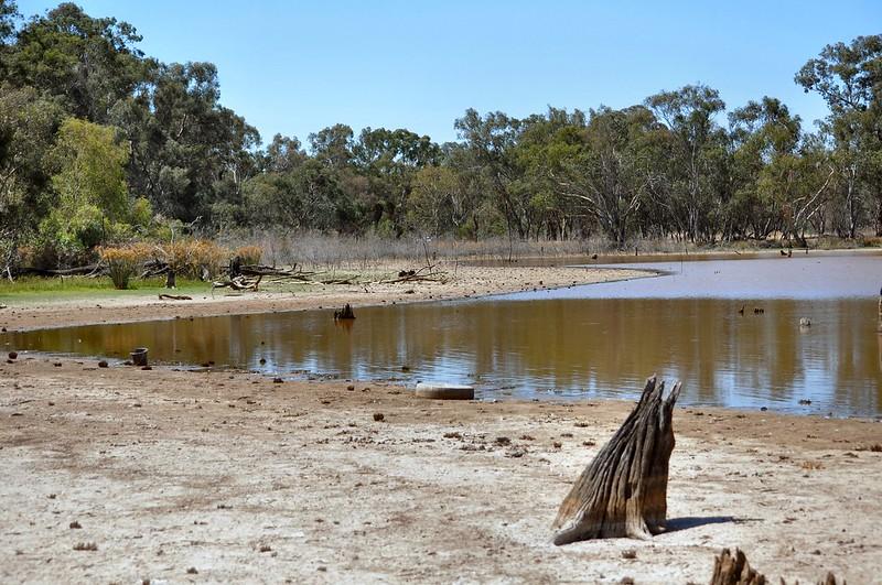 Receding waterline and dying gum saplings Jan 2013