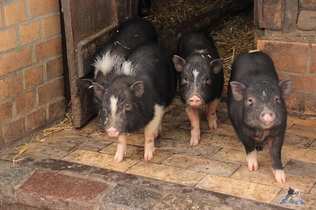 ich werde schweinisch begrüsst :-)