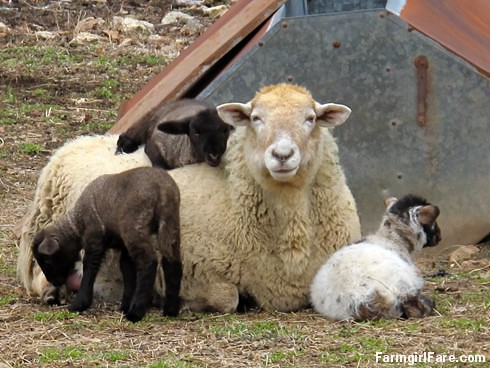 Lamb cute (2) Frenchie and her triplets - FarmgirlFare.com