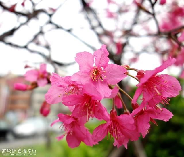2013磺溪旁櫻花