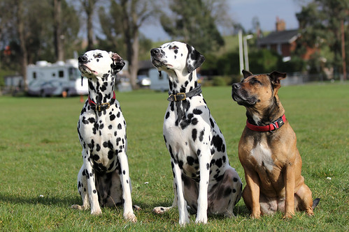 Dalmatians and Staffie.
