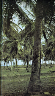 Guide to Lagos 1975 031 Coconut Palm Forest at Badagry Beach