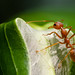 Small photo of Oecophylla smaragdina - Weaver ant