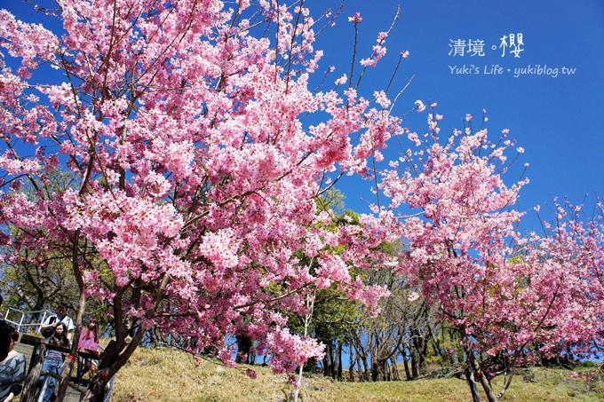 【南投清境農場】櫻花紛飛時(下)‧觀山牧區粉櫻盛開有如小武陵一般