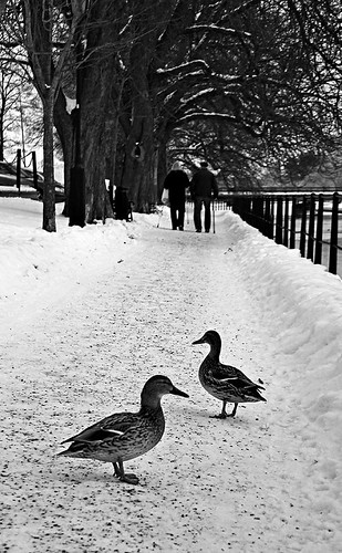 life park street old trees winter light bw favorite white inspiration snow black cold tree slr art scale nature monochrome beautiful beauty lines weather animal composition digital canon way season grey mono frozen photo duck scenery couple flickr frost seasons view image sweden snowy walk scenic picture ducks frosty best line chrome photograph walkway scenary freeze views frame imagination mallard sverige february dslr leading winterland mallards greyscale arboga 2013 550d timlindstedt