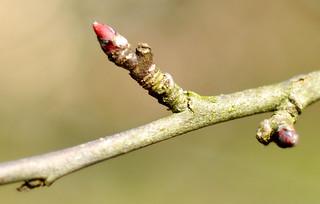 Apfel Apfelbaum Knospe