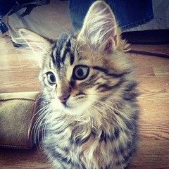 domestic long-haired cat, animal, maine coon, kitten, small to medium-sized cats, pet, mammal, siberian, cat, whiskers, norwegian forest cat,