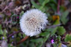 Dandelion & Chickweed