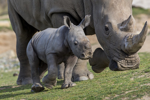 Rhino calf by Official San Diego Zoo