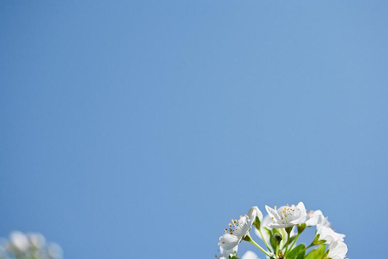 blossoms_5