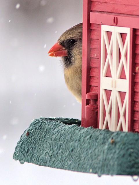 Northern Cardinal 20130305