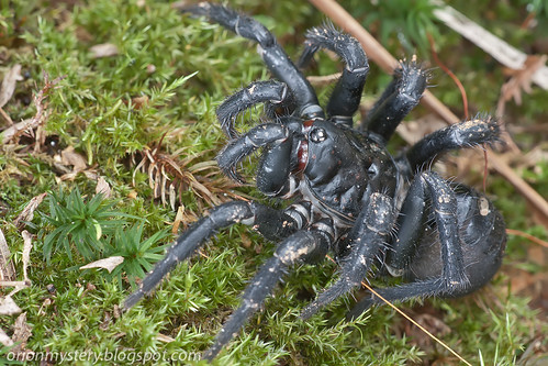 Giant armored trapdoor spider, <i>Liphistius malayanus</i> IMG_9151 copy