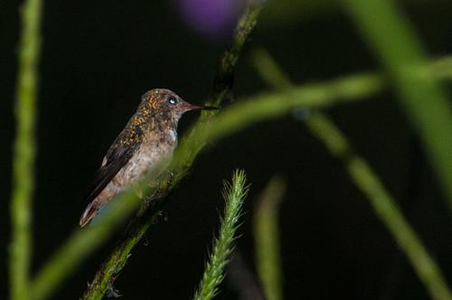 birds animals ecuador hummingbirds zamora animalia vertebrates trochilidae zamorachinchipe spangledcoquette lophornisstictolophus