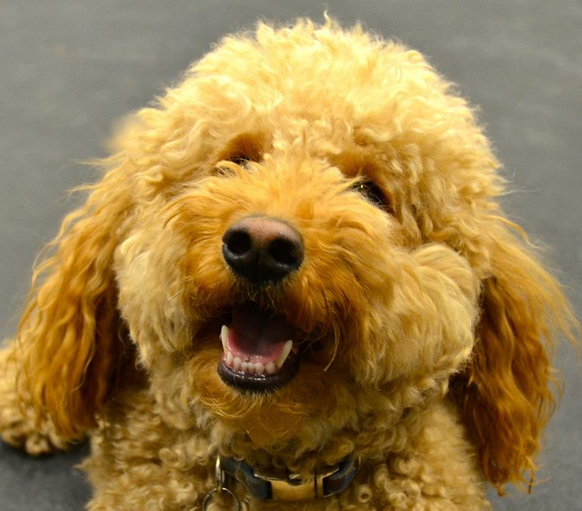Dog Trick Training Certification