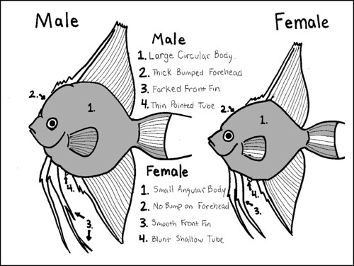 difference between male female angel fish