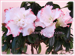 Rhododendron simsii or Azalea indica (frilly pink/white bicolored variety)