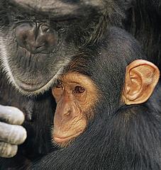 在尚比亞被人捕捉到的黑猩猩母子。WWF、naturepl.com提供、Andy Rouse攝。