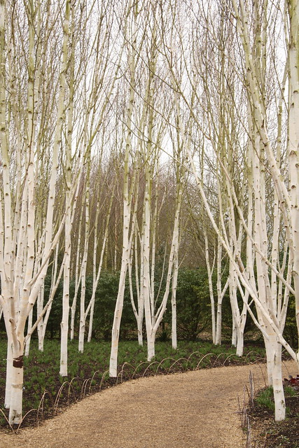 Silver birch trees flickr photo sharing for Silver birch trees for small gardens