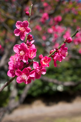 Japanese Plum - Pink