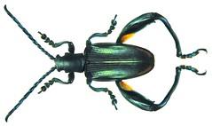 Sagra cf. tristis Fabricius, 1798 male