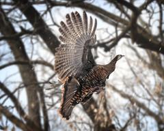 hawk(0.0), bird of prey(0.0), animal(1.0), branch(1.0), wing(1.0), fauna(1.0), ruffed grouse(1.0), bird(1.0), wildlife(1.0),