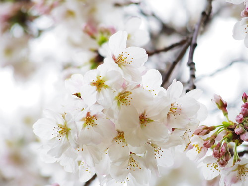 Sakura bloom in Tokyo 05