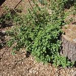Garden Inventory: Lantana - 3