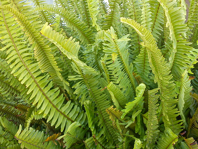 Sword fern nephrolepis exaltata explore themozhi 39 s - Nephrolepis exaltata ...