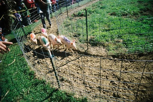 pig race
