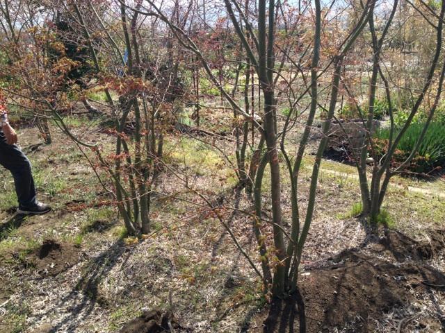 紅葉(もみじ)の木
