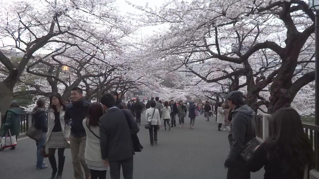 Hza Cherry Blossoms at Chidorigafuchi - Tokyo