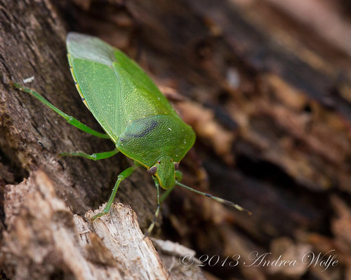Green stinkbug by andiwolfe