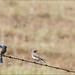 Western Bluebird pair Spring 2013 by CircadianReflections Photography