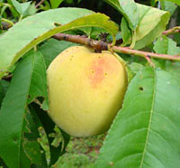 Georgia ripening peach