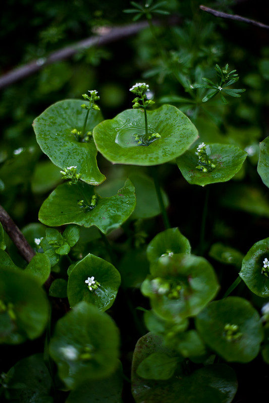 Miner's Lettuce in the Presidio