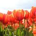 Tulips!! by susiejulie