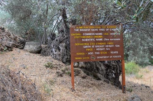 700 Jahre ist dieser Baum alt