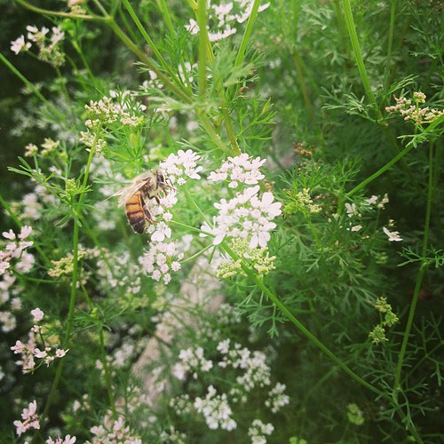 Bee in the Cilantro #SmartYard
