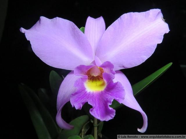 1372 - (C. Labiata x C. Schinleriana) X Laelia anceps tipum
