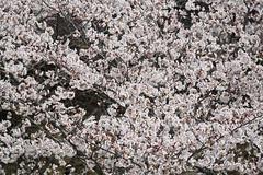 flower, branch, flora, cherry blossom, spring,