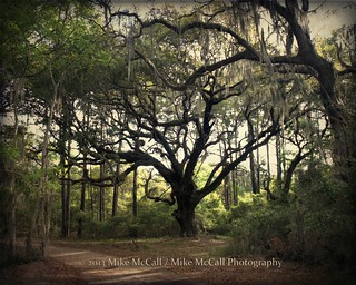 Ancient Oak, Sapelo Island